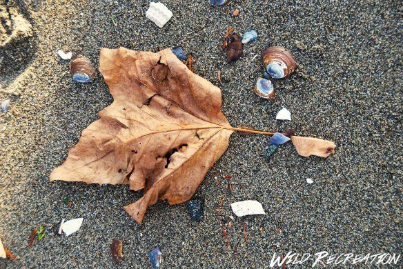 maple_leaf_wild_rec