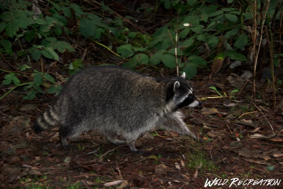 raccoon_wild_rec